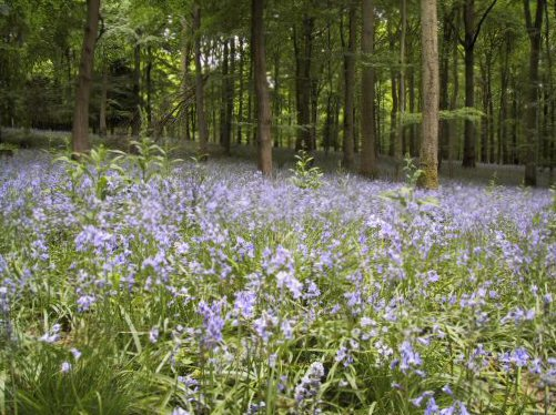 Forest of Dean bluebells